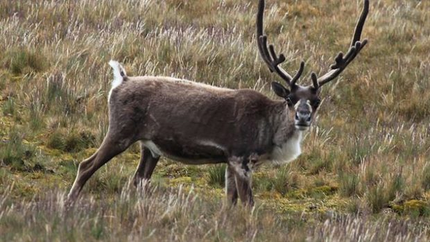 Ненецкий северный подвид