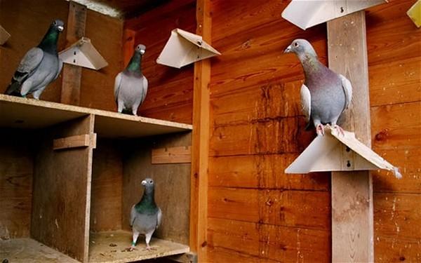 Обустройство голубятни внутри