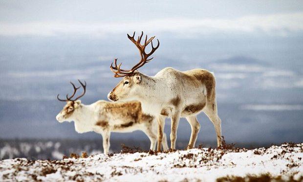 Охотский вид северного оленя