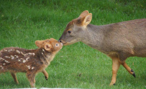 Пуду - самый маленький олень