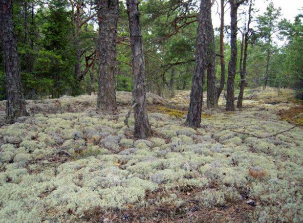 Олений мох в лесу