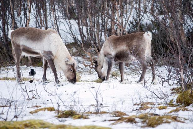 Питание зимой олени достают из-под снега