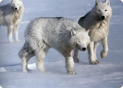Полярные волки - главные враги