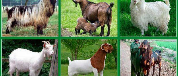 Разные породы коз