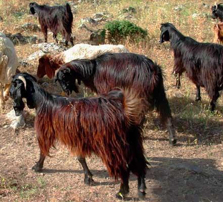 Черная анатолийская порода коз