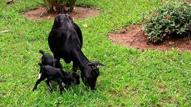 Бенгальская черная коза