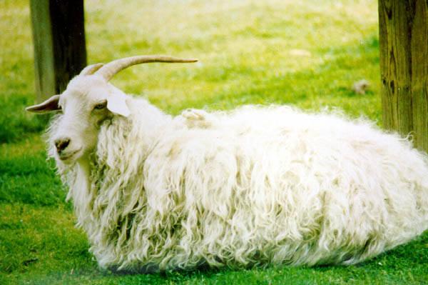 Ангорская коза имеет длинную шерсть