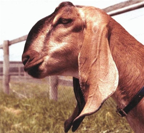 Голова нубийской козы имеет особенный вид