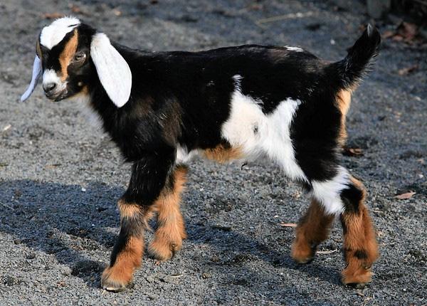Козленок нубийской породы коз