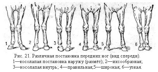 Постановка передних ног