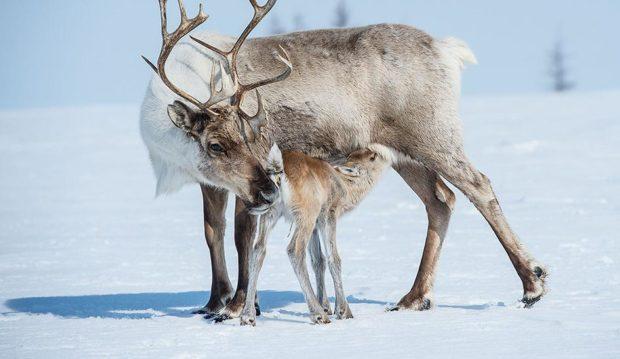 Самка северного оленя с теленком