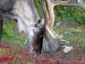 Северный олень ест
