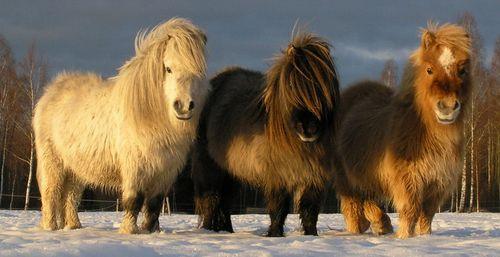 Дикие шетлендские лошадки пони