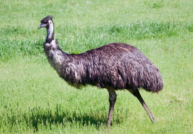Эму - австралийский вид