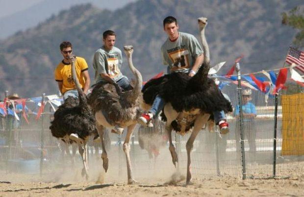 Страусиные бега - азартное развлечение