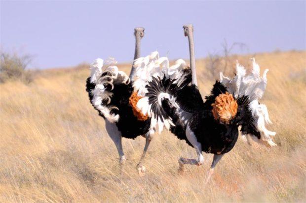 Брачные танцы страусов очень видовищные
