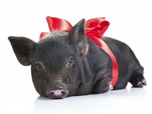 Свинка в подарок должна быть согласована