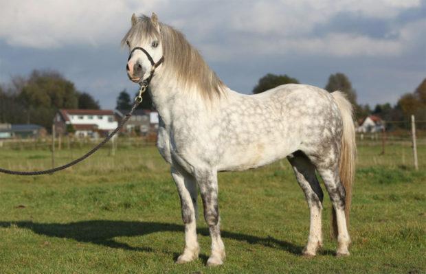 Уэльская порода лошадок