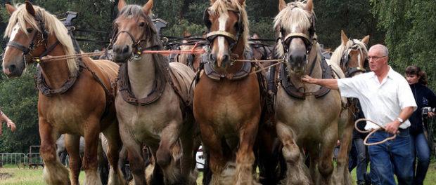 Упряжка коней тяжеловозов