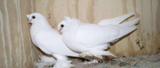 Узбекские голуби в птичнике