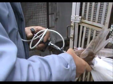 Вакцинация птенцов - защита от заболеваний