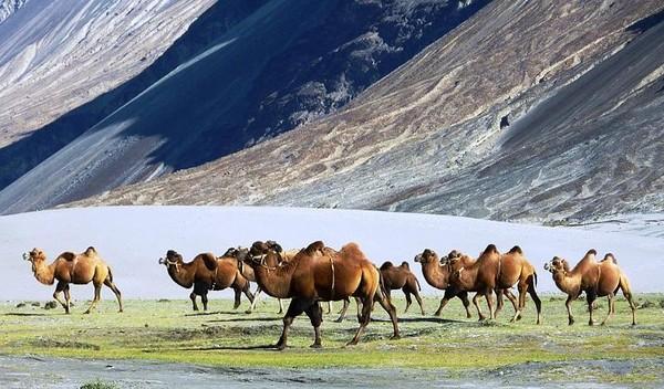 Бактрианы верблюды в Казахстане