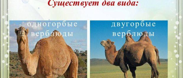 Виды верблюдов - одно- и двугорбый