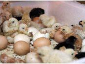 Вылупливание цыплят в инкубаторе