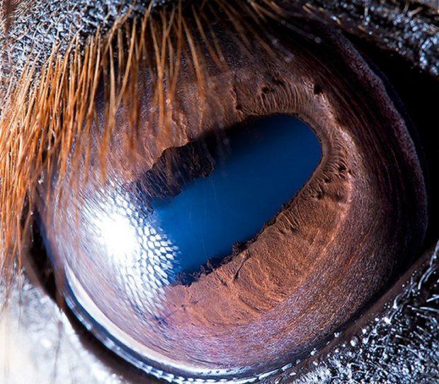 Зрачок глаза лошади