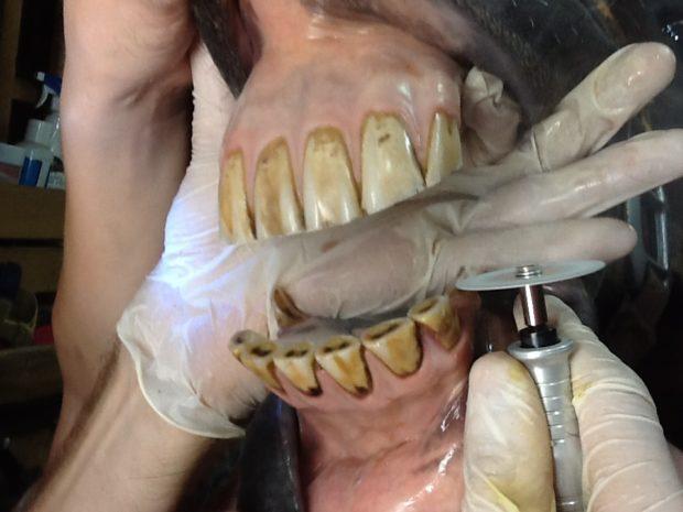 Зубы лошади крупные