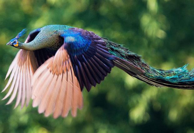 Летящий павлин в джунглях