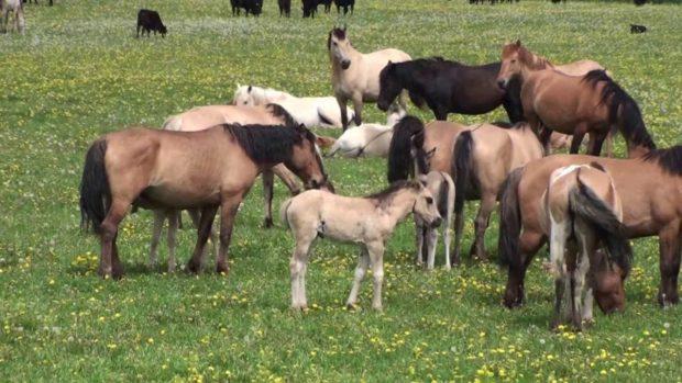 Башкирские лошади