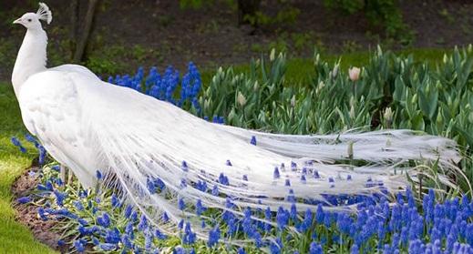 Белый павлин - результат мутации