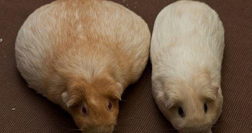 Беременная морская свинка слева