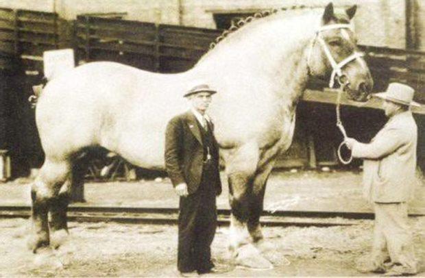 Самый большой конь в мире имел кличку Биг Джейк