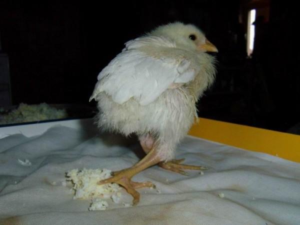 Рахит у цыпленка-бройлера