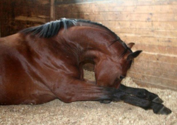 Больная лошадь отказывается от еды