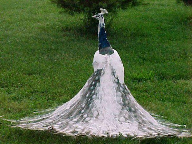 Черно-белый павлин - результат скрещивания