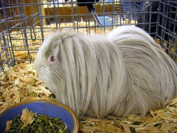 Линька у длинношерстной свинки более заметна