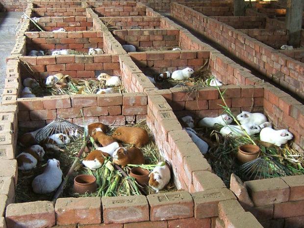 Ферма по разведению морских свинок на продажу
