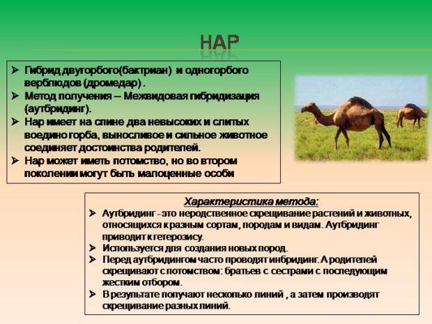 Гибридизация верблюдов