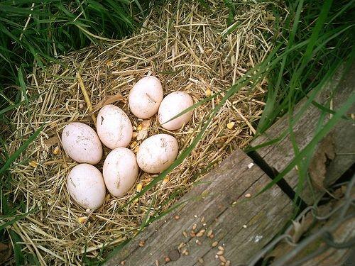 Гнездо павлина для высижывания яиц