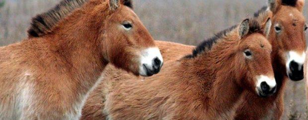 Лошади Пржевальского крупным планом