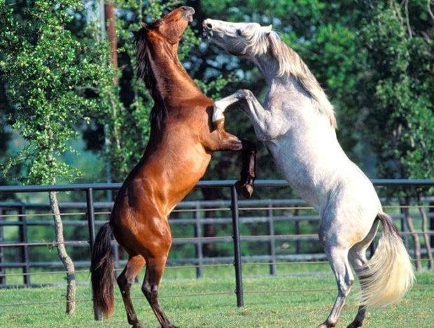 Брачные игры коней