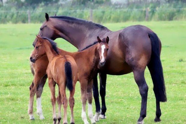 Кабардинская порода коней