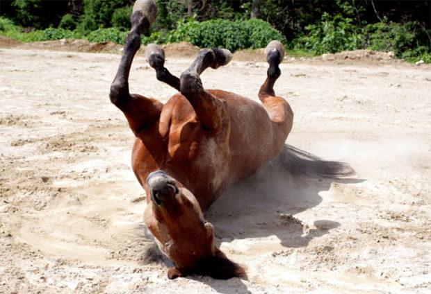 Колики у лошади - она качается от боли