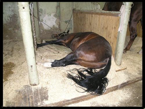 Колики у коня могут привести к гибели