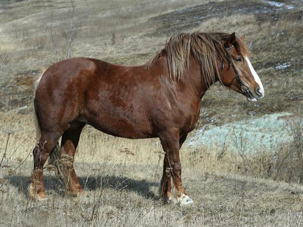 Конь Кудесник породы Русский тяжеловоз
