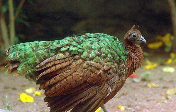 Конголезский павлин не имеет большого хвоста