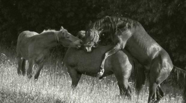 Косячная случка - естественное размножение